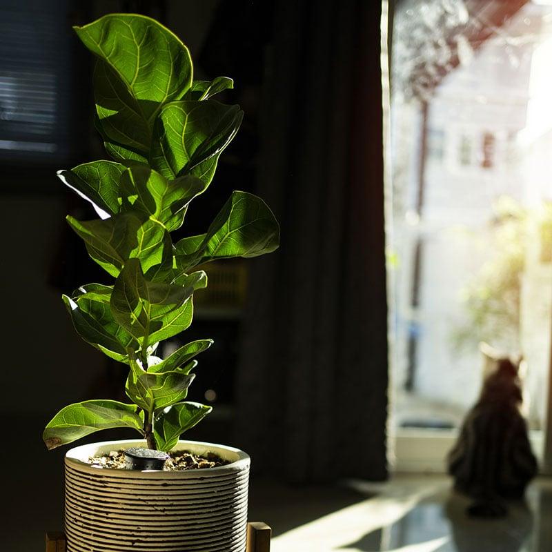 Figuier lyre (Ficus lyrata)