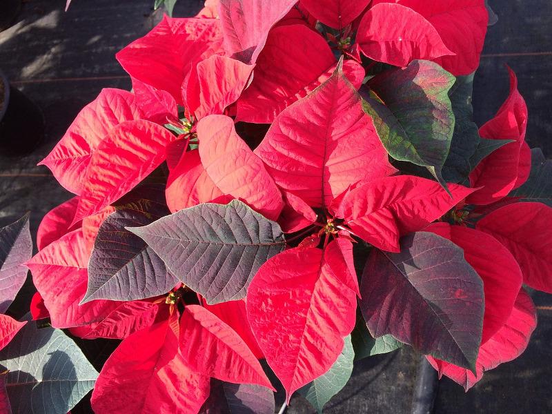 Les plus belles plantes de Noël - Châtelaine