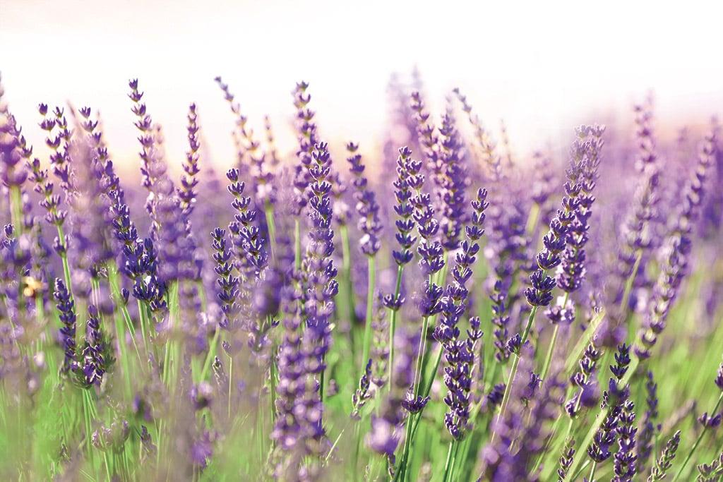 La lavande, une fleur surdouée - Châtelaine